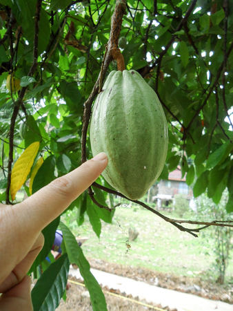 This picture is a fruit itself. Ripe fruit can not be eaten. But this tree is for Refreshing beauty If there is more, it will help reduce carbon dioxide. Stock fotó
