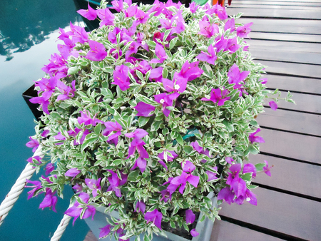 The first European to describe these plants was Philibert Commerçon, a botanist accompanying French Navy admiral and explorer Louis Antoine de Bougainville during his voyage of circumnavigation of the Earth, and first published for him by Antoine Laurent de Jussieu in 1789. Stock Photo