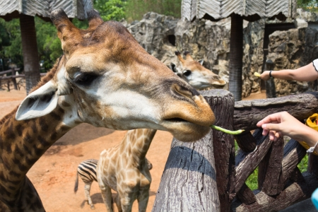 Photo of giraffe eating vegetables Stock Photo - 18379306