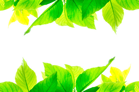 overwhite: Green leaves isolated on white background