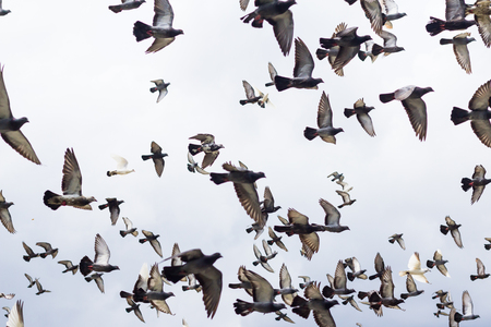 masses:  Masses Pigeons birds flying in the blue sky Stock Photo