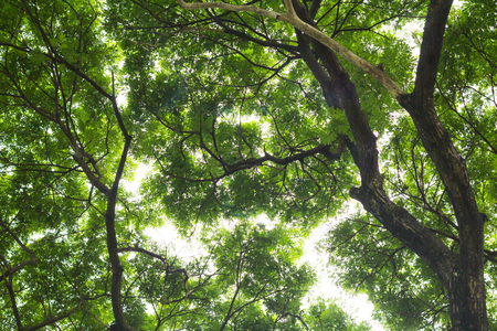 nearness:  Under view of big tree show detail a green leaves  for background texture