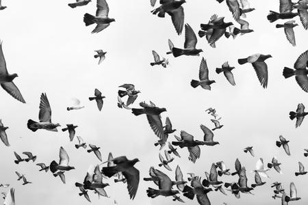 Pássaros preto e branco de massas pombos voando no céu