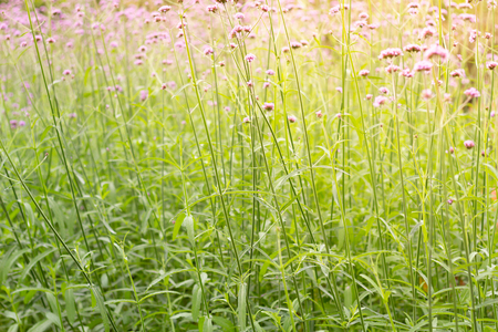 Colorful Vervain flowers meadow Spring nature background for graphic and card design