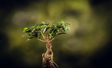 humidify: Closeup of a bonsai tree, on a sunny spring or fall day. Natural background for concept or advertising.