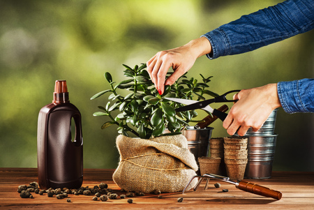 jade plant: Summer work in the garden. Transplanting or bursting a beautiful pot flower at home. Concept photograph for background or advertising. Stock Photo