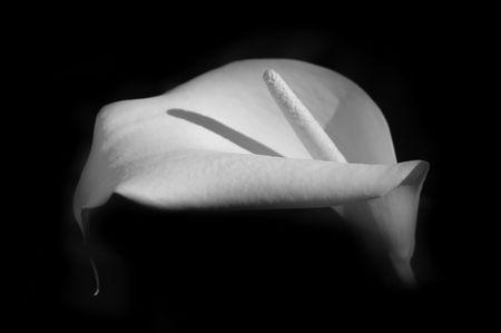 bw: White Calla Lily Stock Photo