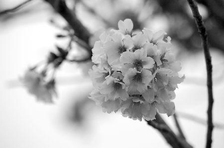 Black and White Cherry Blossom Stok Fotoğraf