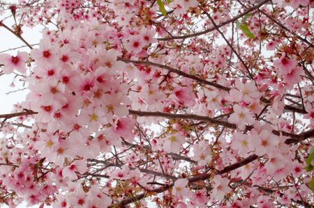Pink Branches Of Cherry Blossoms