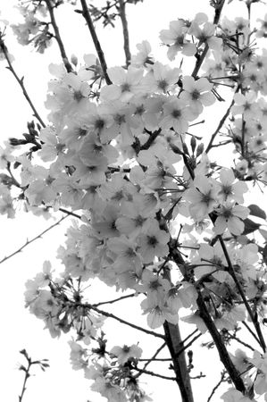 Black and White Branche Of Cherry Blossoms