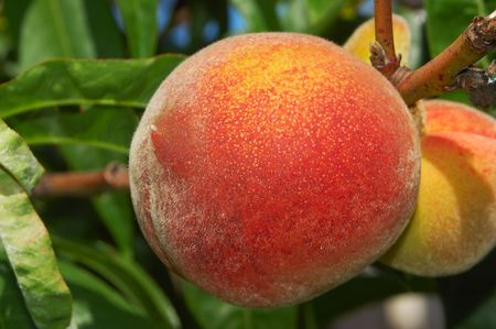 A Ripe Peach Ready For Picking