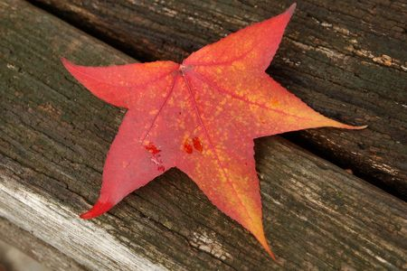 red maple leaf: Red Maple Leaf
