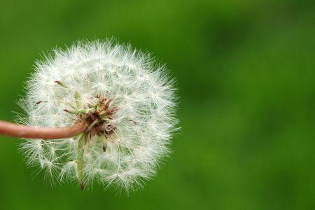 Dandelion Puff Stok Fotoğraf