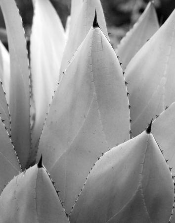 Cactus Leave