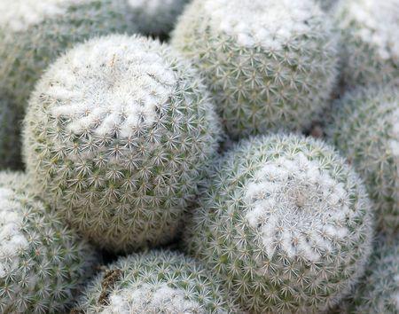 Cactus Bulbs