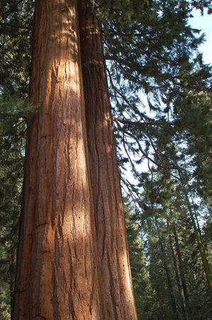 Giant Sequoia Trunks