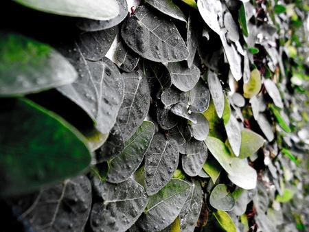 wall ivy: Ivy pared. Foto de archivo