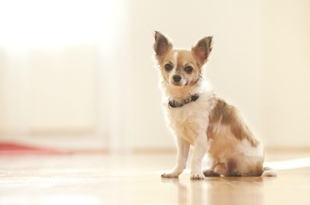 Young chihuahua puppy Stock Photo