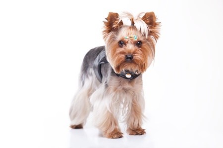 Yorkshire terrier looking at the camera in front of white background