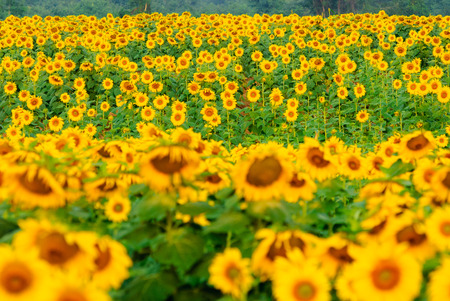 sun flowers field in Thailand photo