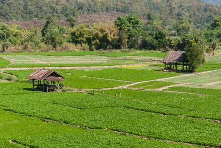 Cottage and green terraced rice field in Thailand photo