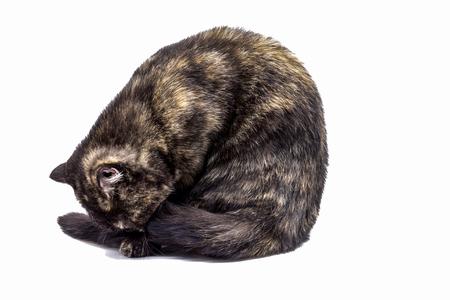 comrade: Calico cats Stock Photo