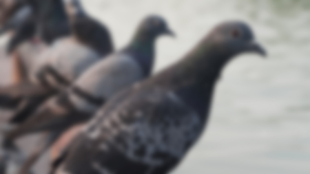 blurred pigeon in the public park