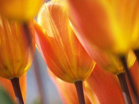 Mooie tulpen in bloei
