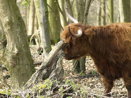 in ox: Highland ox with an itch