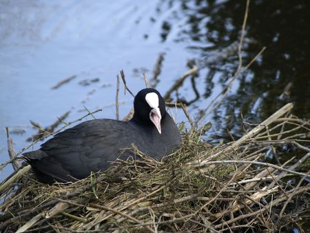 coot: Coot on her nest