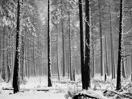 Black and white Aspen trees during snowstorm in Yosemite park Stock Photo