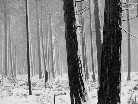 Zwart-wit Aspen bomen tijdens de sneeuwstorm in Yosemite Park Stockfoto