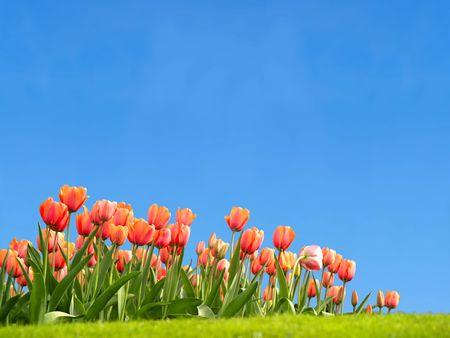 Vivid tulpen met copyspace aan de hemel