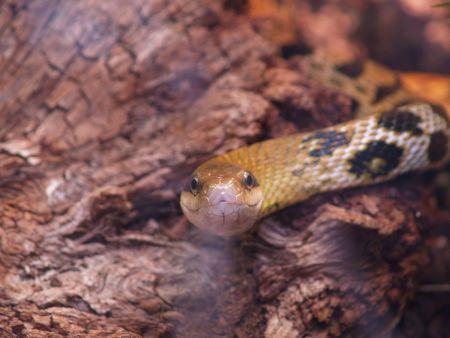 taeniura: Rat serpente (Elaphe taeniura)