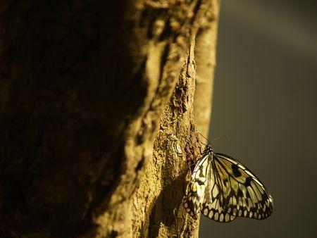 White paper kite (Idea leuconoe) photo