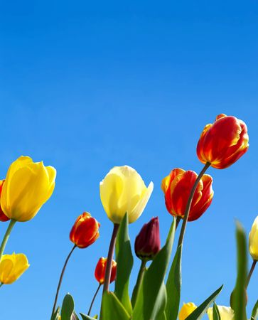 Vivid tulips with copyspace in the sky