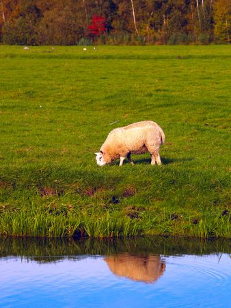 shepherd sheep: A sheep next to the water showing his reflection