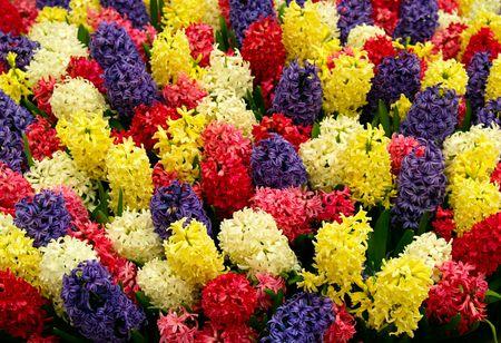 vividly: Vividly colored hyacinths Stock Photo