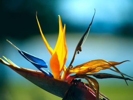 Bird of paradise flower (Strelitzia reginae) in Australia