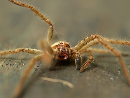 shiver: Australian Huntsman spider (Sparassidae) or wood spider (shallow depth of field)