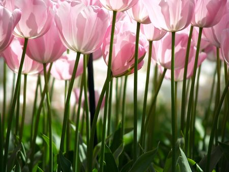 Huge pink tulips as seen from the ground Stock Photo