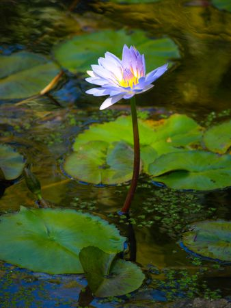 Beautiful purple waterlily in the pond of the park photo