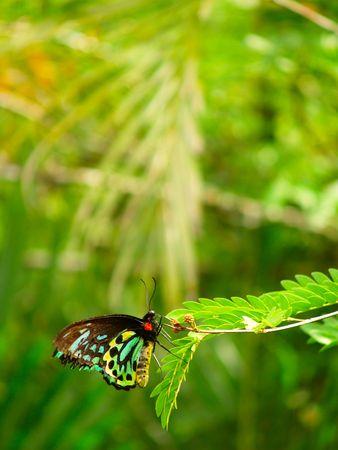 Queen Alexandra's Birdwing (Ornithoptera alexandrae) rust in het regenwoud van Queensland, Australië