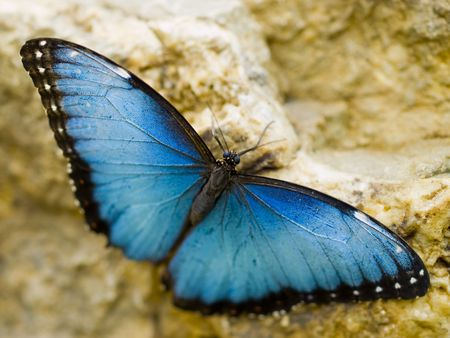 Beautiful resting Blue Morpho (Morpho peleides) on a yellow rock