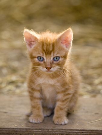 Cute little farm kitten with bright blue eyes photo