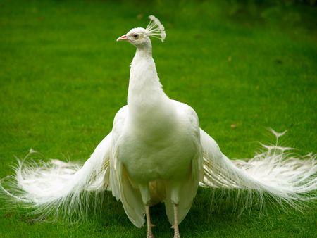 Mooie en ongebruikelijke Witte Pauw zwerven rond