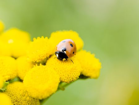 Small ladybug on yellow flowers in the summer sun