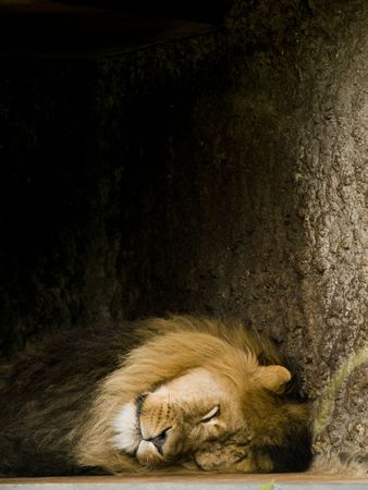 africat: Sleeping lion (panthera leo), resting in the shadow Stock Photo
