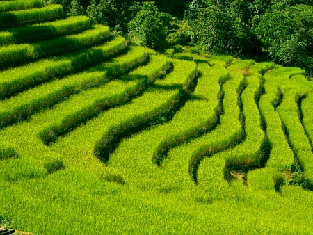 rice plant: Beautiful green rice fields in Sikkim, India