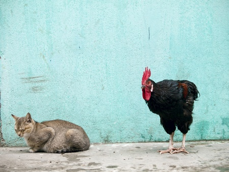sneaking: A black rooster sneaking up on a sleeping grey cat over a grungy looking background Stock Photo